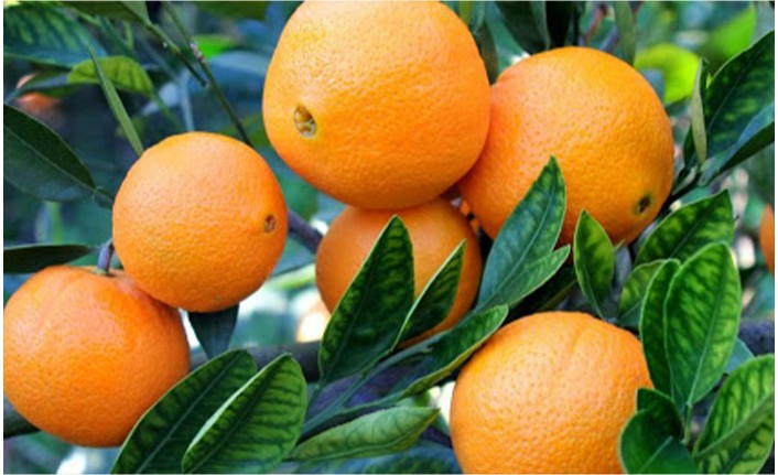 Narenciye Üreticileri Birliği Mandora mandalinanın taban fiyatını eleştirdi