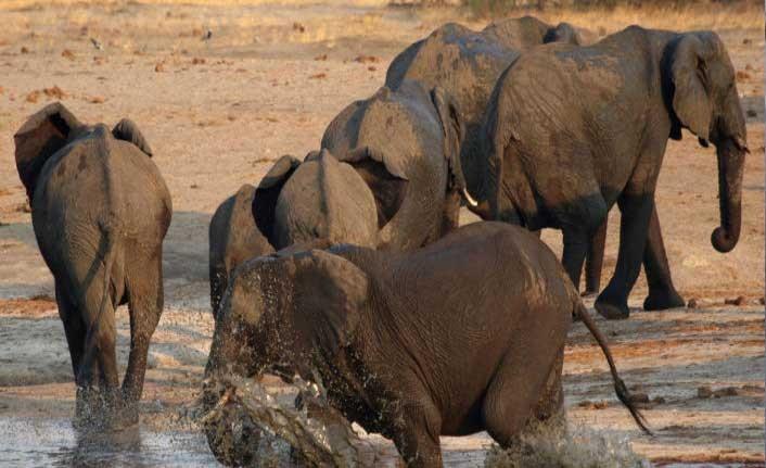 Kaçak avcı fillerin saldırısı sonrası yaşamını yitirdi