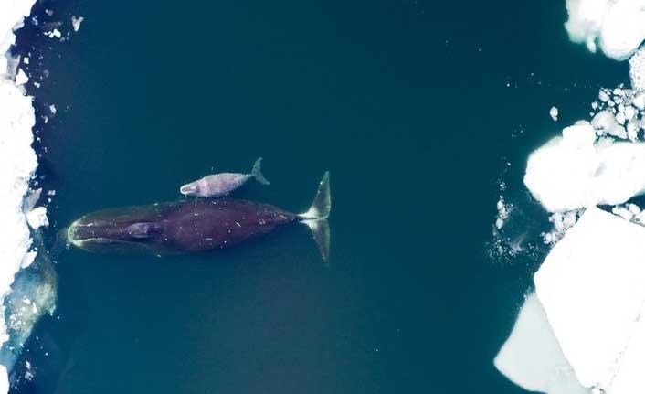 Kuzey Kutbu'nda eriyen buzullar nedeniyle Grönland balinaları evine dönemiyor