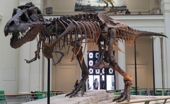 'T-Rex' dinozor türünün sanılandan oldukça yavaş yürüdüğü belirlendi