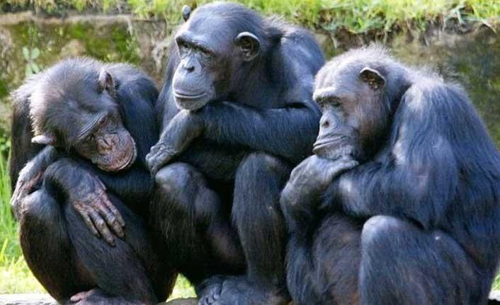 Büyük kuyruksuz maymunlar tehlikede: 2050'ye kadar yaşam alanlarının yüzde 90'ı yok olacak