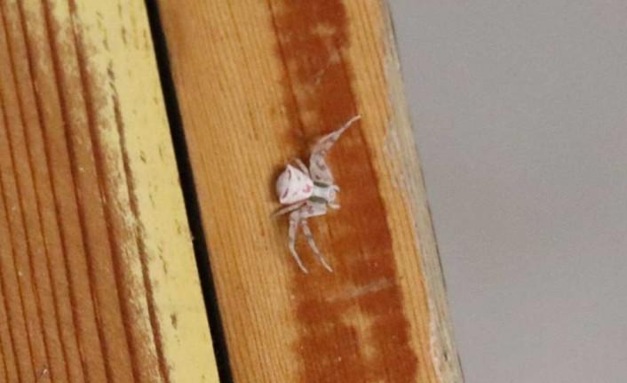 İnsan yüzlü örümcek Türkiye'de bir kez daha ortaya çıktı