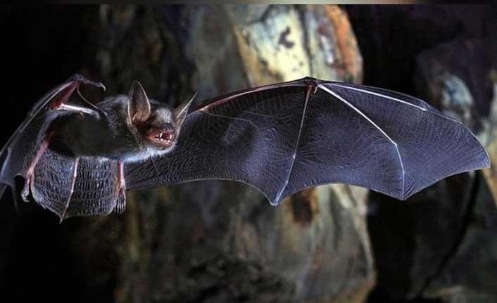 Birleşik Krallık'taki yarasalarda yeni bir koronavirüs keşfedildi