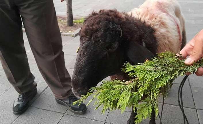 Kurbanlık koyun yol ortasında durdu, 3.5 saat kıpırdamadı: 'Aldığımıza pişman olduk, bela oldu'
