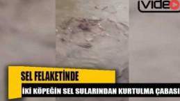 Bozkurt'taki sel felaketinde iki köpeğin sel sularından kurtulma çabası