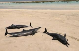 Kızıldeniz kıyısında mahsur kalan 40 yunus kurtarıldı