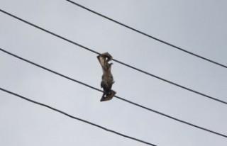 Varlığı tehlike altındaki yarasalar, elektrik...