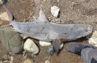 Baf'a bağlı Poli Hrisohu'da kıyıya köpekbalığı...