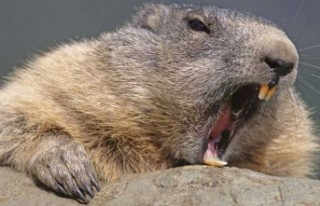Kanada'da kunduzlar kabloları kemirdi, 900 ev...