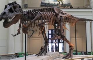 'T-Rex' dinozor türünün sanılandan oldukça...