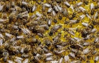 Arılar arasında yeni bir hastalık: Topluca ölüyorlar!