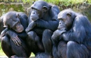 Büyük kuyruksuz maymunlar tehlikede: 2050'ye...