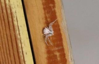İnsan yüzlü örümcek Türkiye'de bir kez daha...