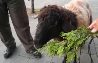 Kurbanlık koyun yol ortasında durdu, 3.5 saat kıpırdamadı:...