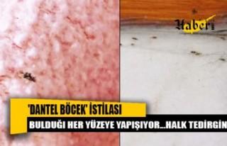 Sultangazi'de 'dantel böcek' istilası...